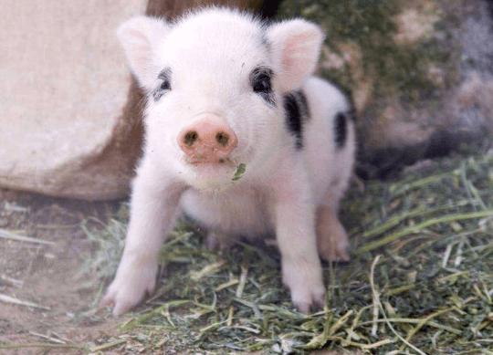 5月2日全国各省市15公斤仔猪价格报价表,广东的仔猪价格依旧普遍高于其他地区!