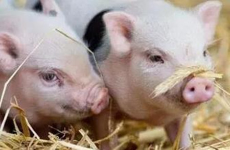 """美国猪农的哀愁:大量生猪无处可去 政府补贴""""杯水车薪"""""""