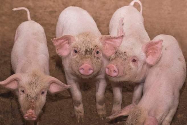5月3日生猪价格走势,整体下跌幅度趋缓,16省市上涨!