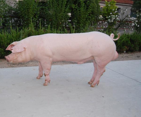 5月3日全国各地区种猪价格报价表,河北母猪均价维持在4500元/头!