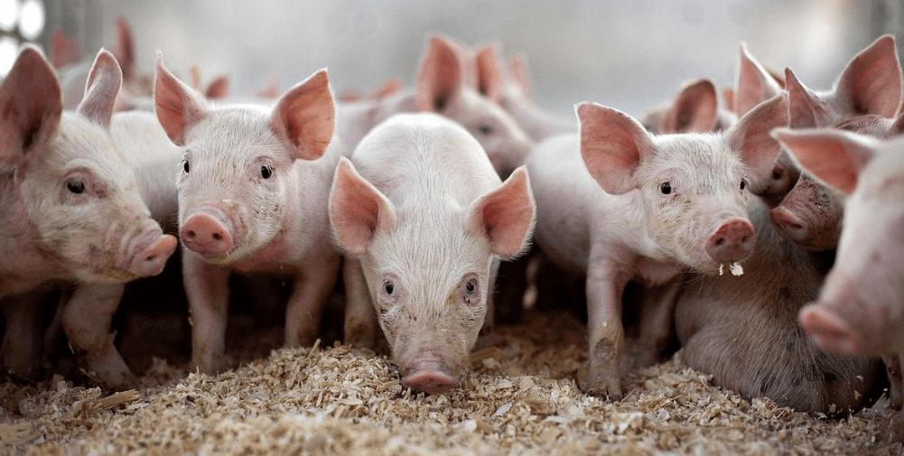 两家美国企业合作开发新型非洲猪瘟疫苗
