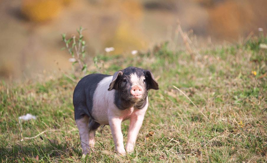 5月4日猪价走势,猪肉消费提振明显,全国生猪均价继续稳中微涨!