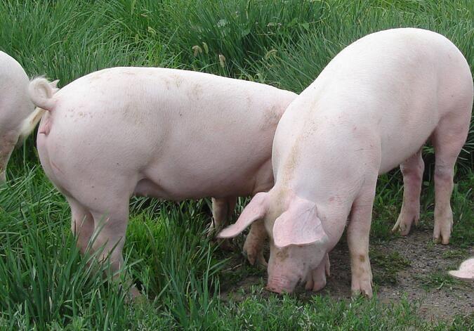 千余头法国原种猪抵川 有利于四川生猪产业尽快扩繁增量
