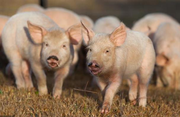 5月4日全国各省市20公斤仔猪价格报价表,生猪供应紧缺,仔猪价格持续高位运行!