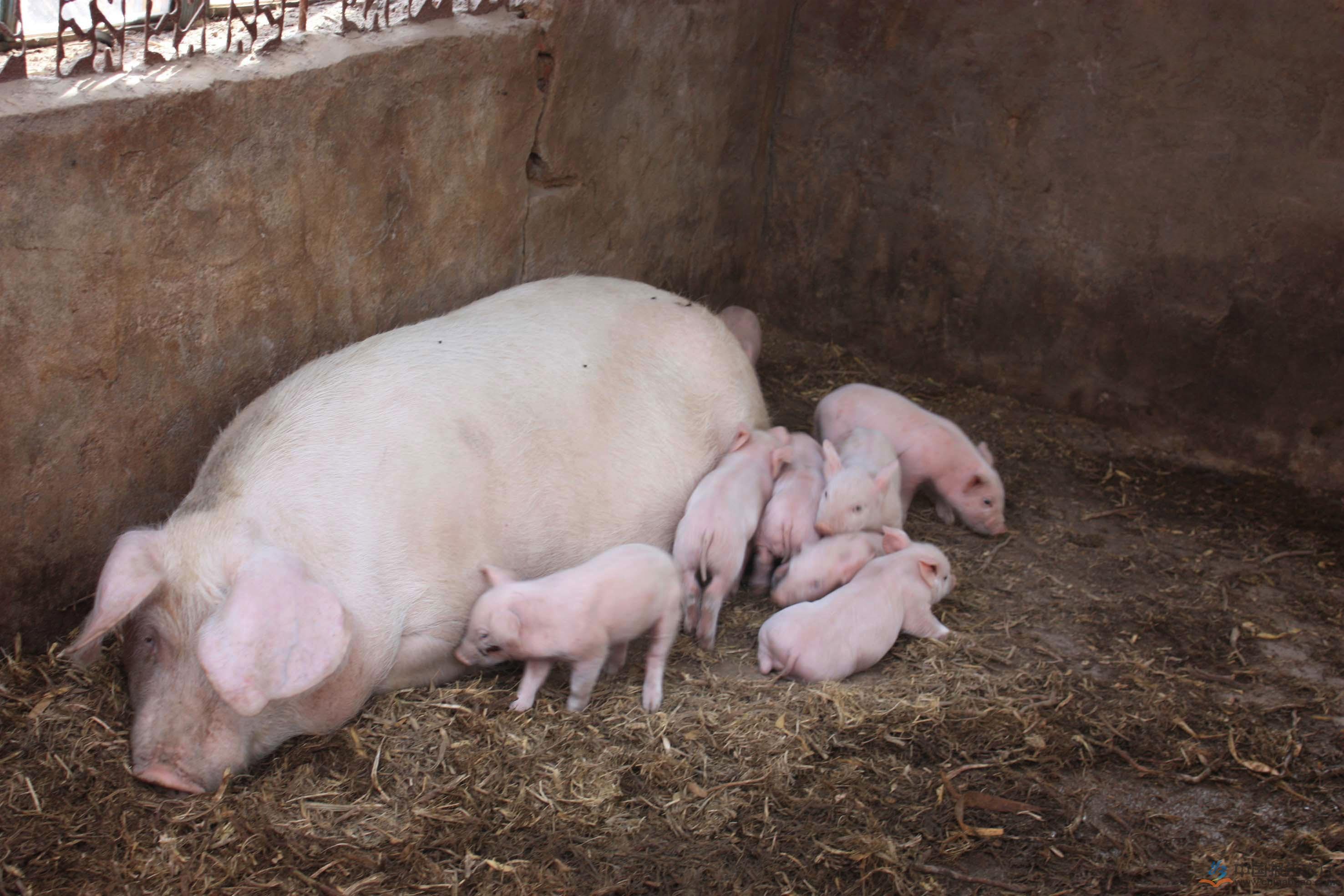 母猪空怀期养殖技术,控制膘情是提高母猪产能的关键!