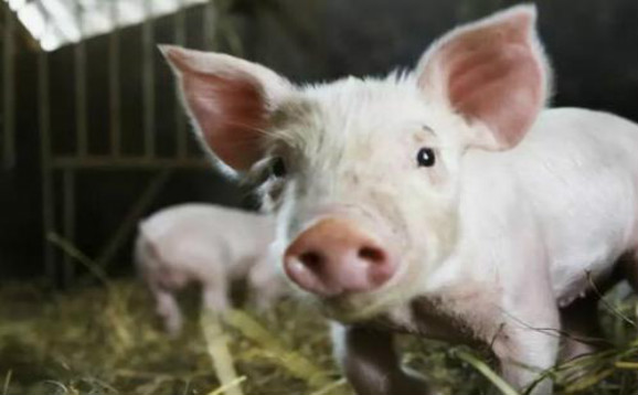 猪市走向:五一对生猪市场行情提振有限,猪价大面积上涨可行性小
