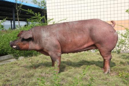 5月5日全国各地区种猪价格报价表,河南地区母猪价格有所下跌!
