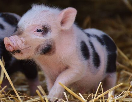 5月5日全国各省市10公斤仔猪价格报价表,四省市仔猪价格为2000元/头!