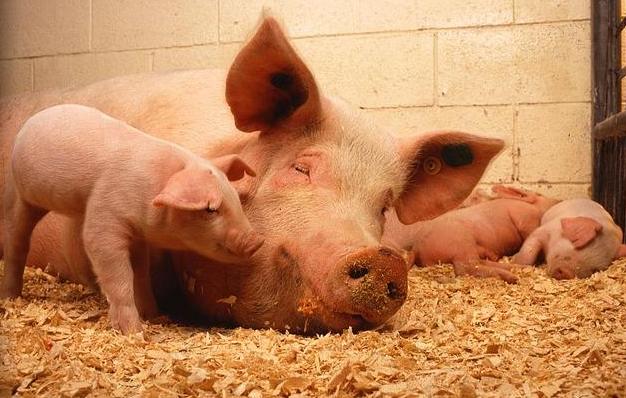 肉价上涨的逻辑 超低价猪肉难指望