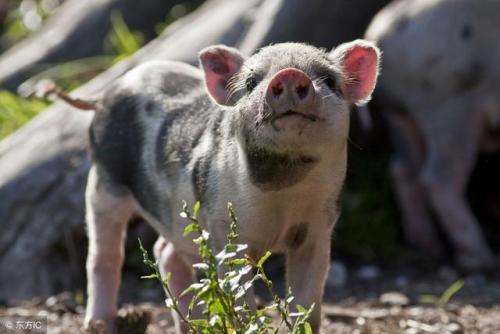 猪价飘红!新型疫苗或将完全阻隔病毒传播?