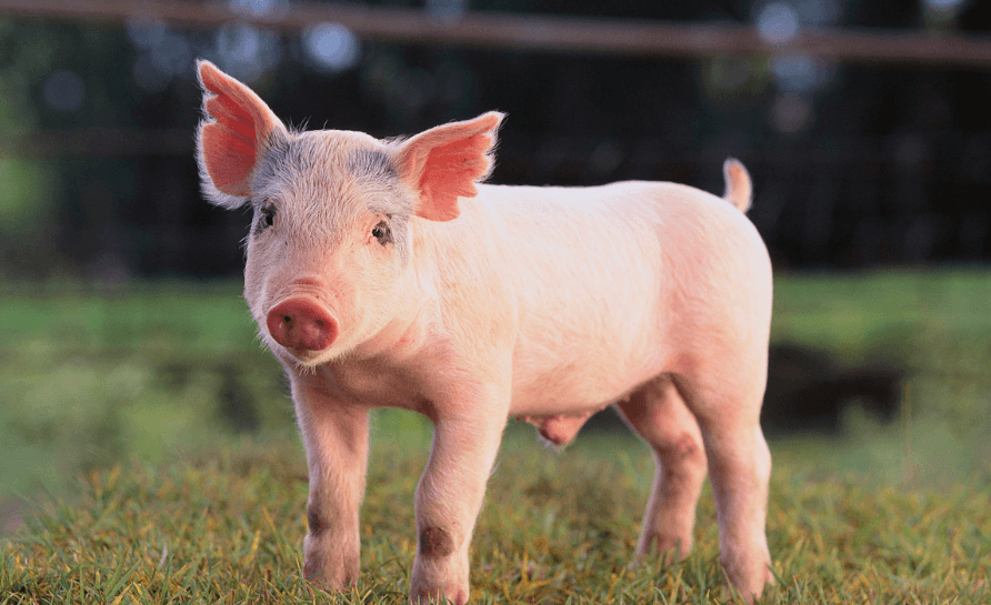 仔猪价格暴涨221.95%!四川解禁从省外调运仔猪,为期99天