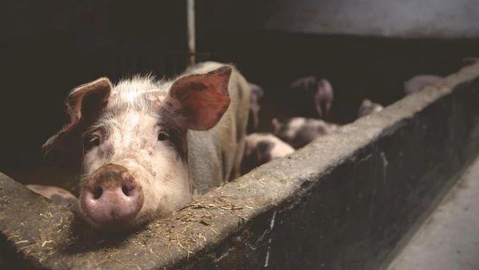 北方猪价回落跌破15元!生猪产能正在恢复?专家这样预计