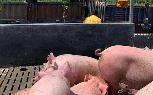 种猪紧俏 会影响生猪复产吗?
