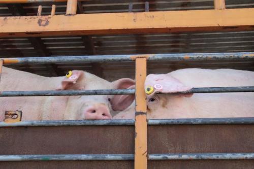 清明、五一猪价都不涨,反映一个重要信息!