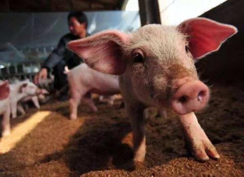 两个月养猪利润缩水千元,猪农哭诉何时止跌?专家研判两因素或促大涨