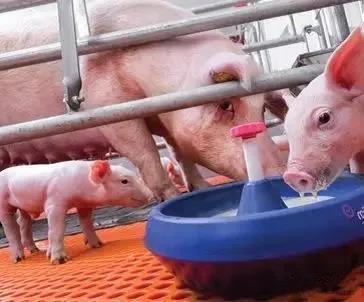 仔猪不吃开口料?早期补料、诱食应注意哪些?