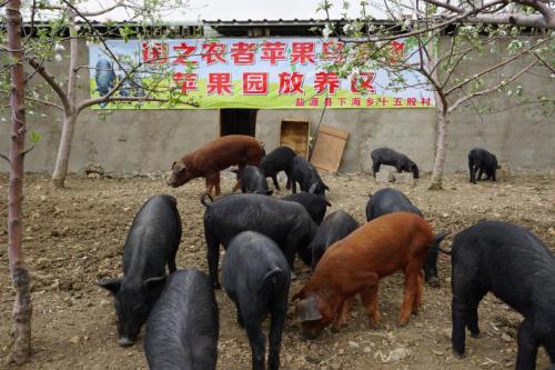 乌金猪变身绿色健康代名词,备受散小养殖户青睐