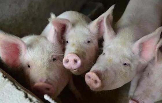 """甘肃白银:围绕""""三抓""""促进生猪稳产保供 一季度生猪饲养量达141.14万头"""