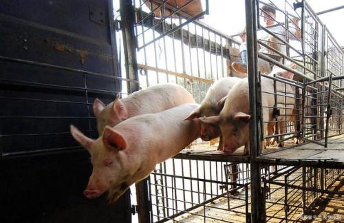 5月6日生猪价格走势,猪价一片飘绿,东北地区生猪均价跌破15元!