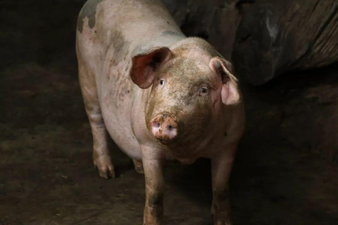 最近非瘟中招的猪场有这几种表现,看完不亏!