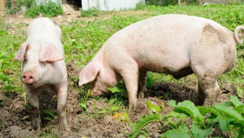 邹向阳:氧气在无抗养殖时代对养猪业的影响和改变