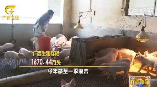 """""""铁桶计划""""助力生猪复产提速,广西一季度生猪存栏环比增长4.4%"""