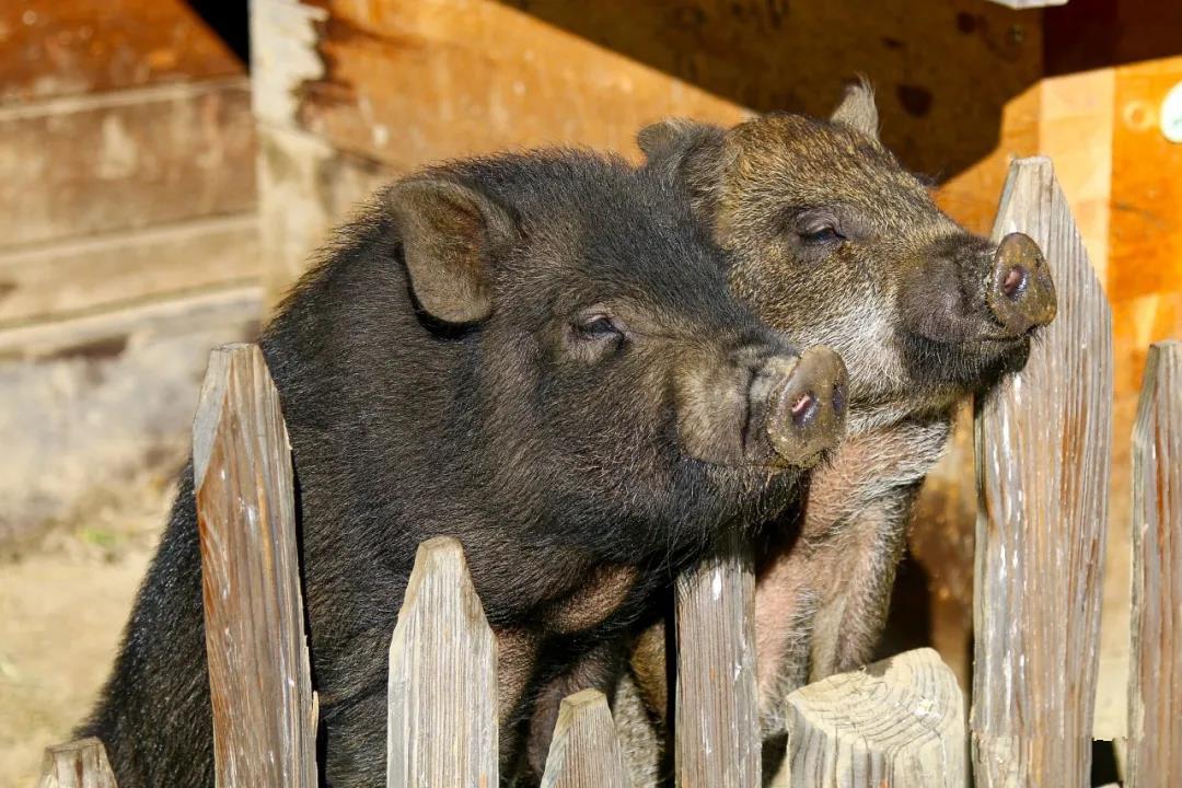 天热猪不好好吃食有几种原因?如何解决?