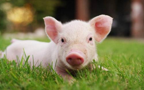 调研走访后告诉你,如何满足生猪产业链的避险需求!