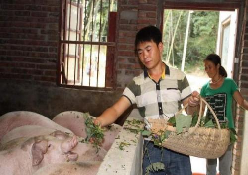 猪价跌跌不休,散养户利润减少近千元,猪农哭诉啥时候看涨