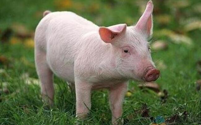 """为确保人民群众吃上""""放心肉"""",广东生猪从养殖到餐桌将闭环监管"""