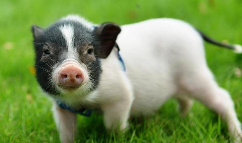 5月8日猪价走势,31省市全面下跌,东北地区下跌幅度超0.6元!