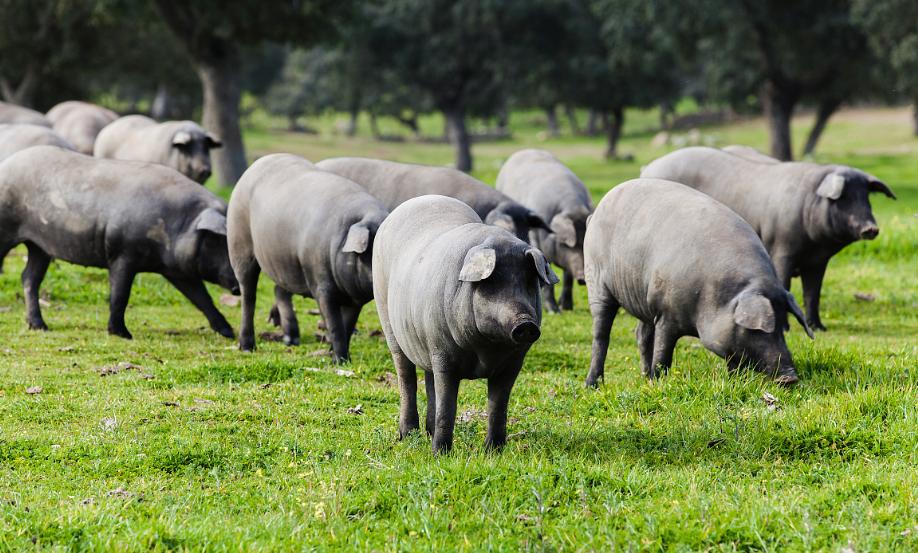 加大政策扶持 保障基本民生 石家庄市生猪存栏量逐步回升