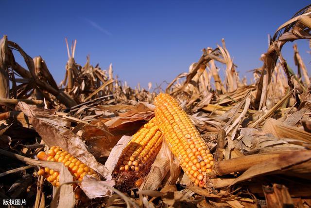 饲料企业今天暴涨180元每吨!进口玉米68万吨玉米在路上