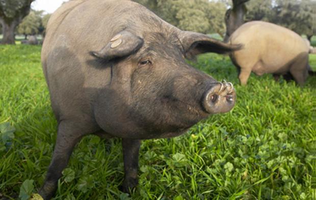 """吉林:生猪生产""""爬冰过坎""""迎来春天"""