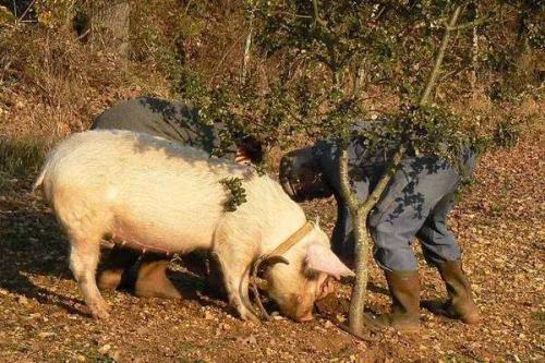 非瘟过后缺母猪更缺公猪,公猪气味剂你知道使用方法吗?