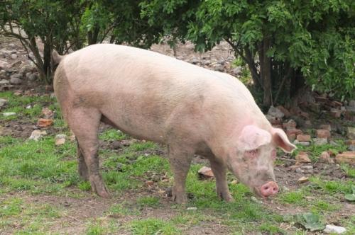 5月10日全国生猪价格内三元报价表,西藏内三元猪价最高,较上月同期基本持平