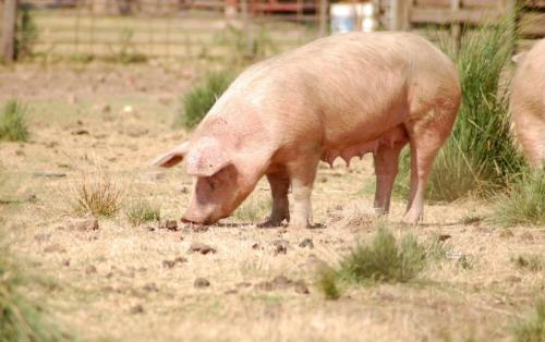 5月10日全国生猪价格外三元报价表,猪价继续下跌,跌幅较前两日有所减缓