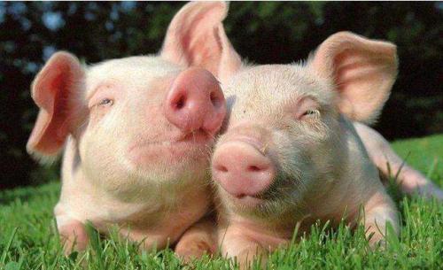疯狂!4月份,企业投760亿元布局生猪产业!