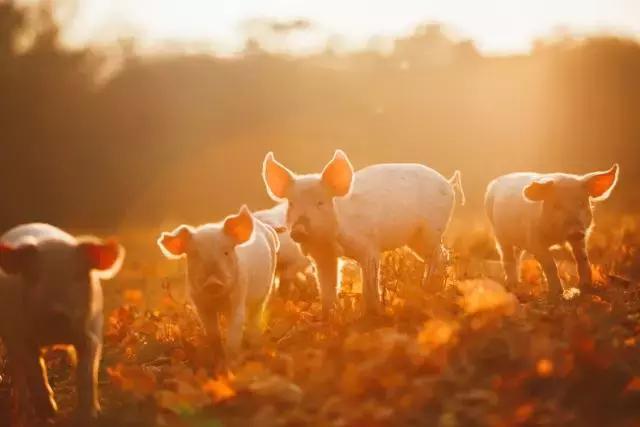跨界养猪?没那么简单,现在是跨界养猪企业的好时机吗?