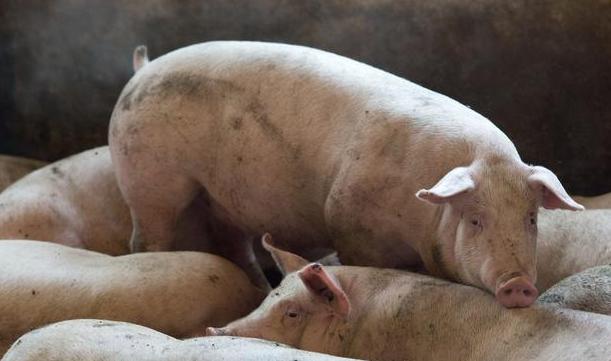 5月11日全国生猪价格土杂猪报价表,下行幅度明显增大,多地跌幅超0.5元/公斤!