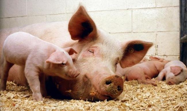 5月11日全国生猪价格内三元报价表,猪价持续性下跌,黑龙江跌破14元!