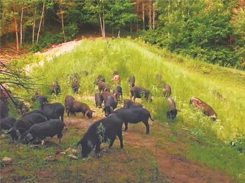 黑龙江宾县藏香猪线上销售拓展市场 养殖效益客观每头利润超3000元