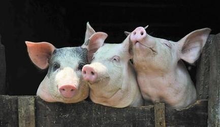 """胡春华:坚决落实""""六保""""任务 要毫不松懈抓好生猪生产恢复"""