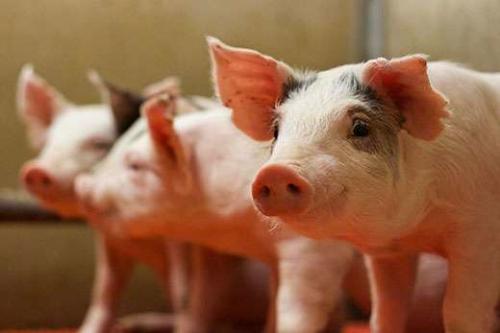 """一季度济宁农林牧渔业""""三增两降"""",消费需求降低养殖场压栏,猪肉价格无明显波动"""