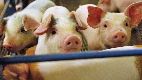 太平洋证券程晓东:猪肉价格短期或继续调整