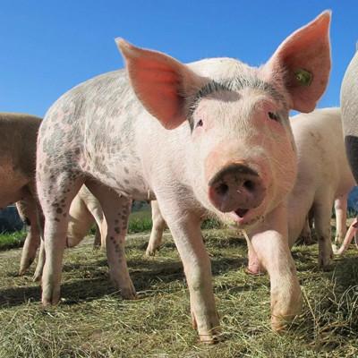 5月12日猪价跌幅扩大,黑龙江跌破14元,东北地区会持续下跌?