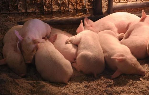 养猪千万条,这个第一条,万变不离其宗的养猪秘籍是什么?