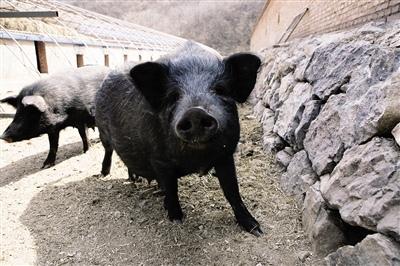 5月12日全国生猪价格土杂猪报价表,持续下行,新疆跌破14元!