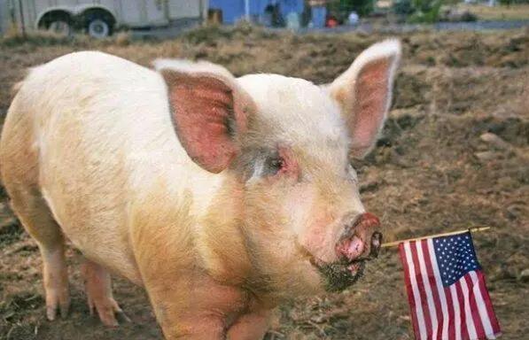猪价一降再降,为啥美国4万吨猪肉又来?猪价会大跌吗?