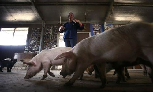 乐见社会资本养猪热,养猪业发展有望得到优化